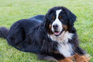 Buster the Bernese Mountain Dog